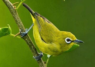 XYZ – Aneka macam semua jenis burung pleci lengkap dengan gambar. Varian  pleci b9afa2524a