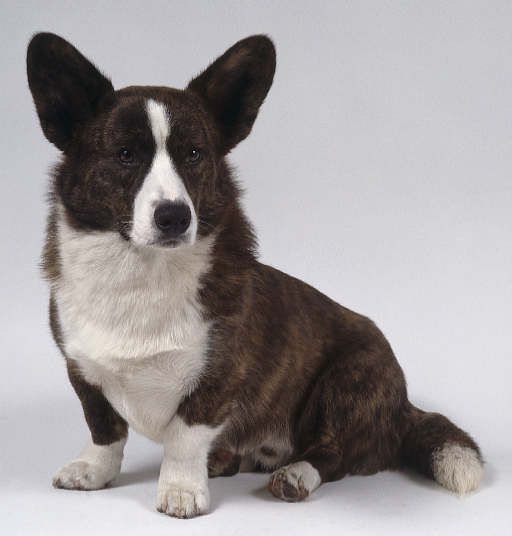 Cardigan Welsh Corgi Long Low To The Ground Dog One Of The