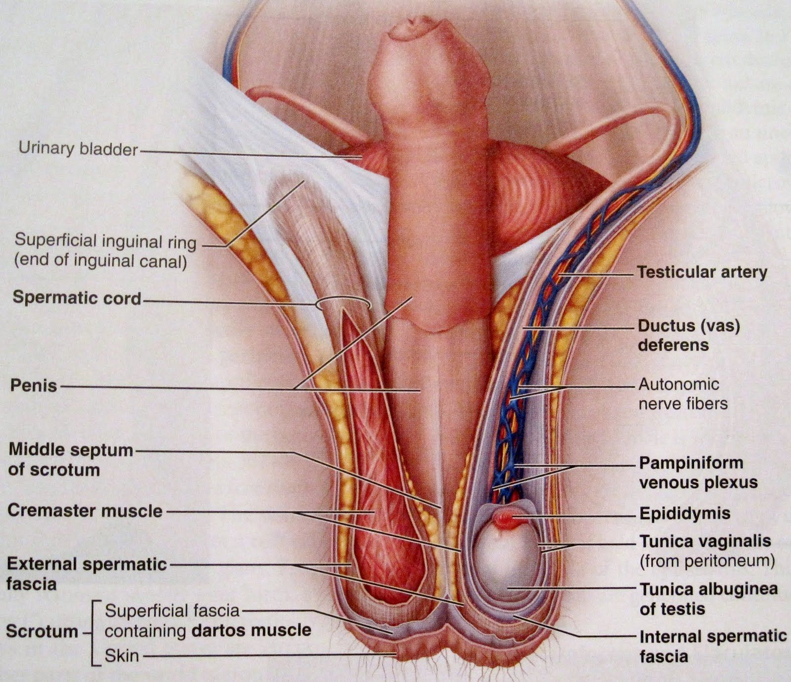 Internal Male Sex Organs 50