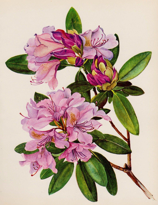 Vintage Purple Rhododendron Flower Print Vintage Botanical Print