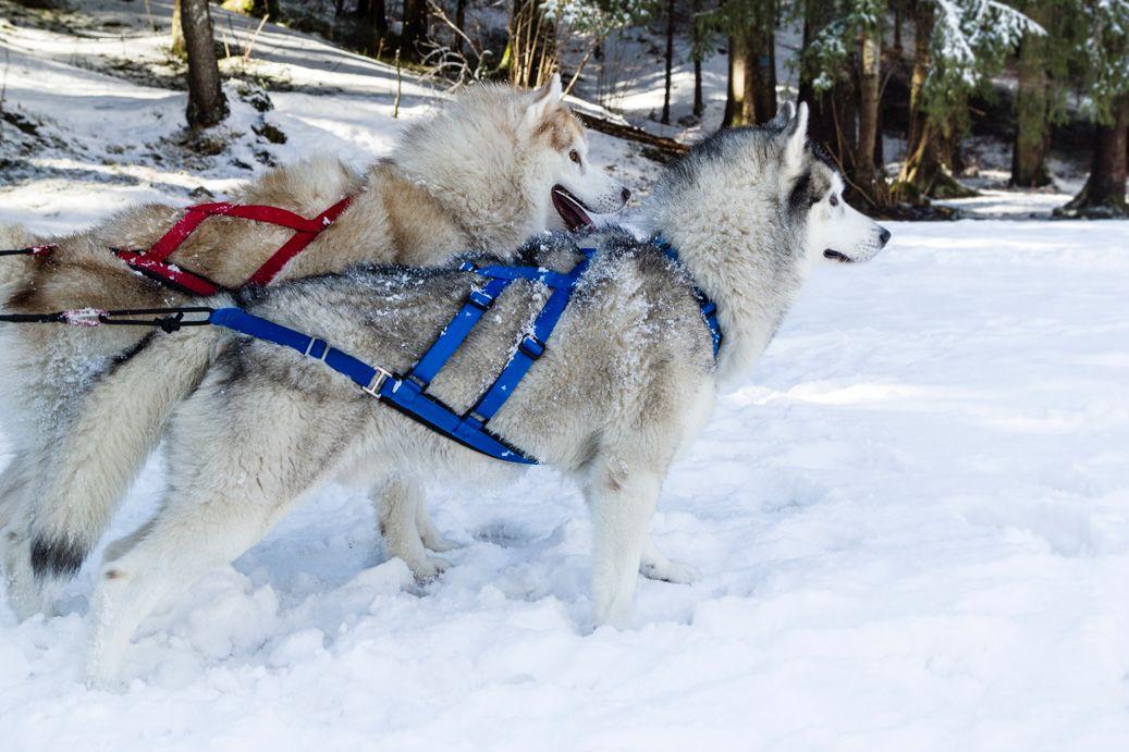 Siberian Husky Sled Dog X Back Harness Dog Sledding Dog Harness