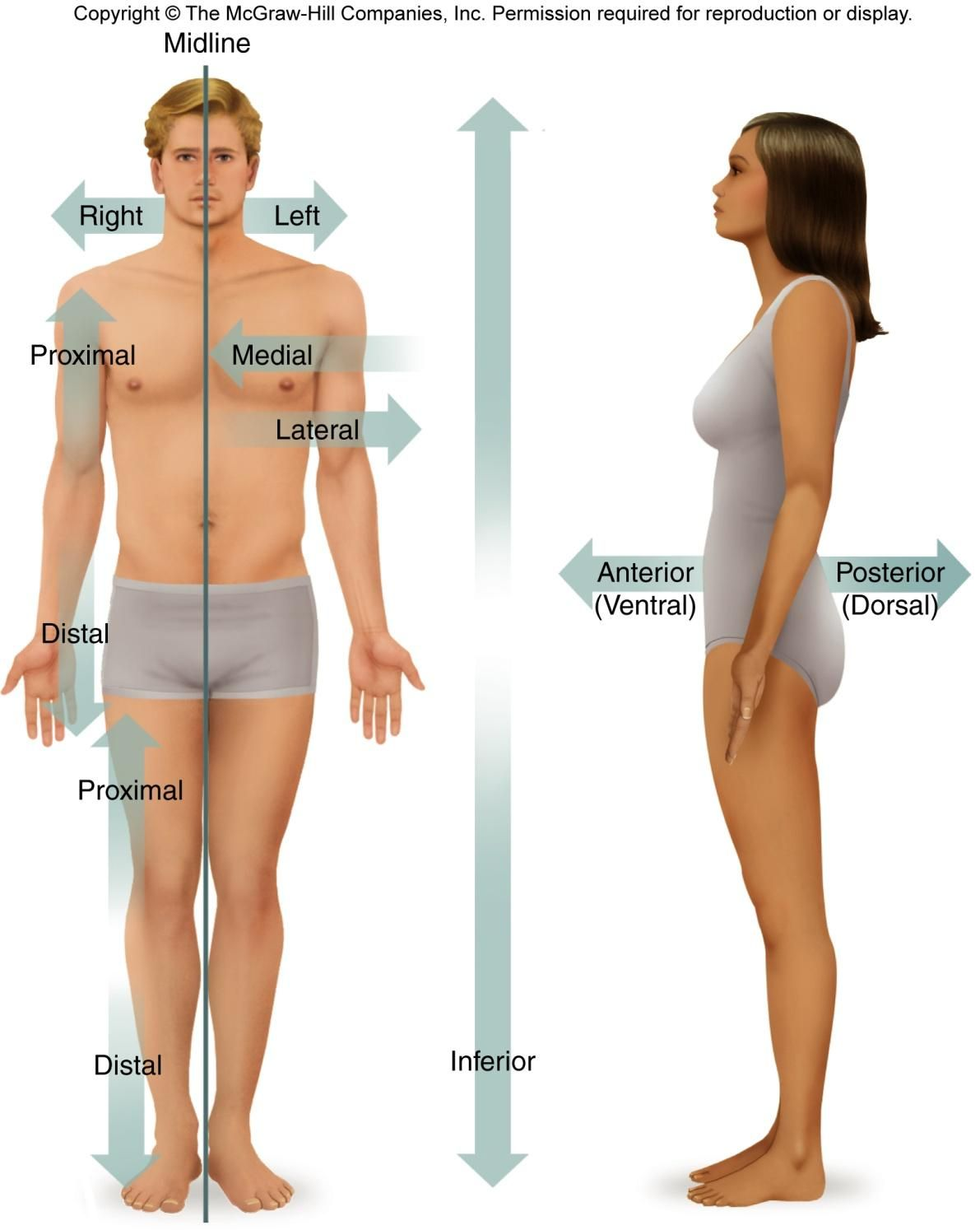 Body orientation and direction | Anatomy & Physiology | Pinterest ...