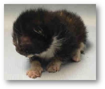 DEW - #A1077907 - Super Urgent Manhattan - **MUST BE PULLED BY A NEW HOPE RESCUE** - 2 WEEK FEMALE TORTIE DSH - STRAY ON 06/17/16 - ALLOWS ALL HANDLING, VIGOROUS FEEDER