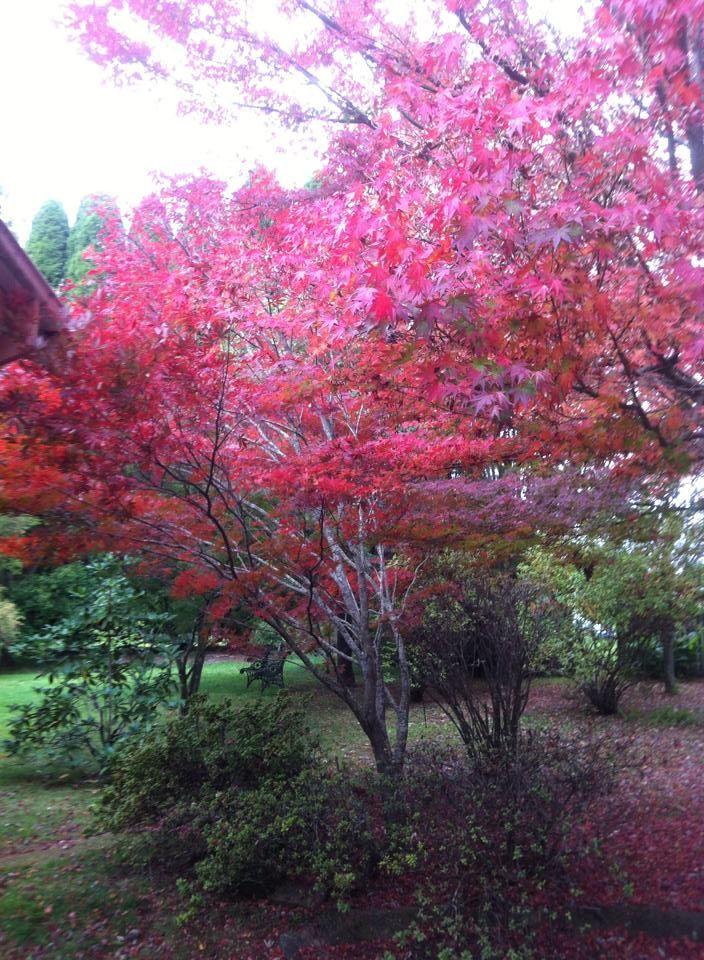 Beautiful Japanese Maples.at carrara NSW