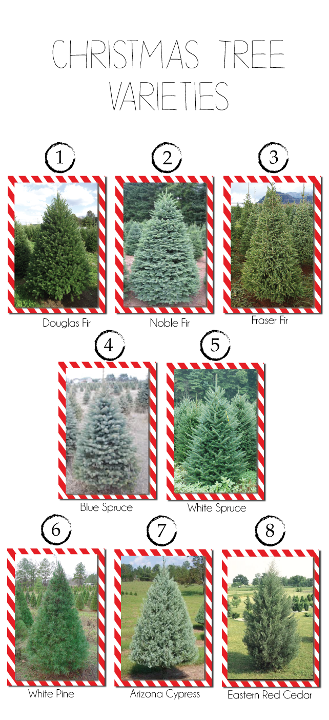 Christmas Tree Types.Different Christmas Tree Types And Varieties A Informative
