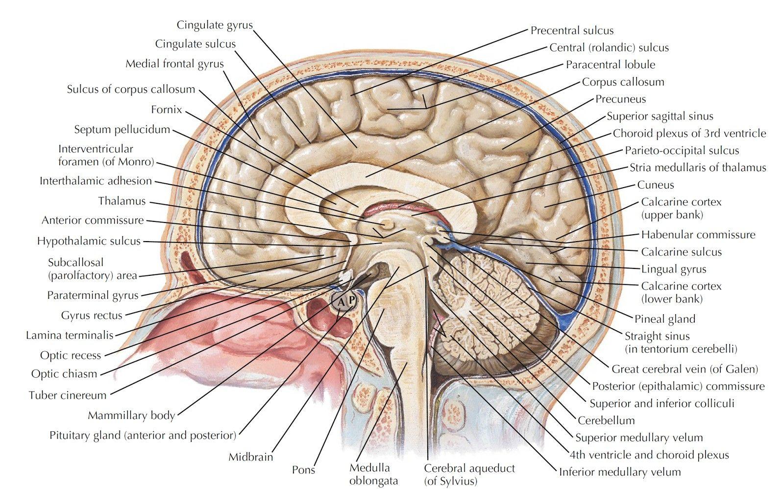 Labeled Parts Of The Brain Human Anatomy Organs Brain Anatomy