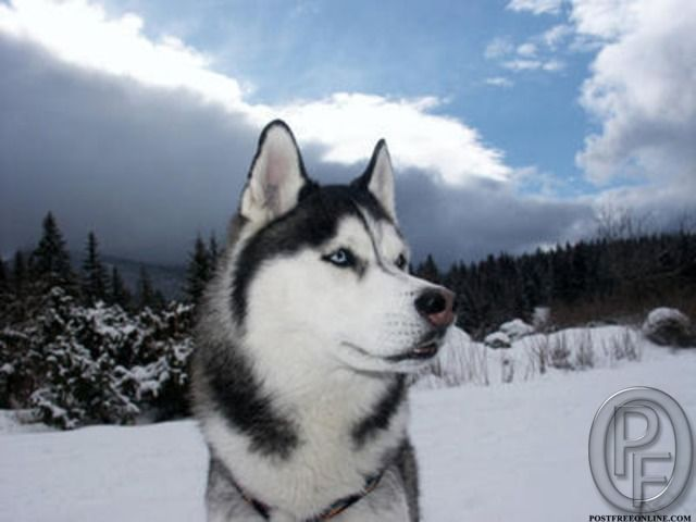 Best Siberian Husky Available With Us For Sale In Mumbai