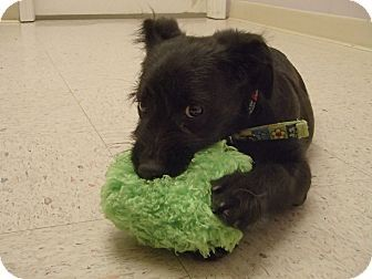 Baby Cakes Adopted Puppy Pocahontas Ar Scottie Scottish