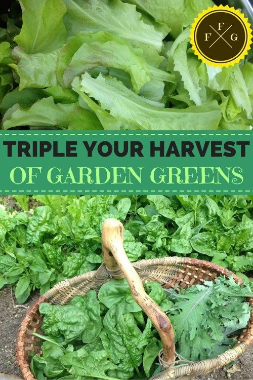 garden greens anime great ways to get more harvests from your garden greens how triple harvest of fresh greens gardens vegetable
