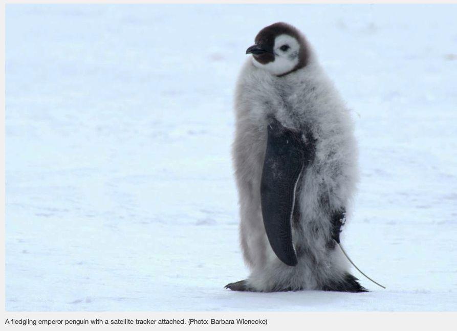 Emperor Penguin with tracker_  AAD web site