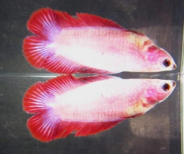 Red pink white split tail betta female betta fish red pink white split tail betta female sciox Image collections