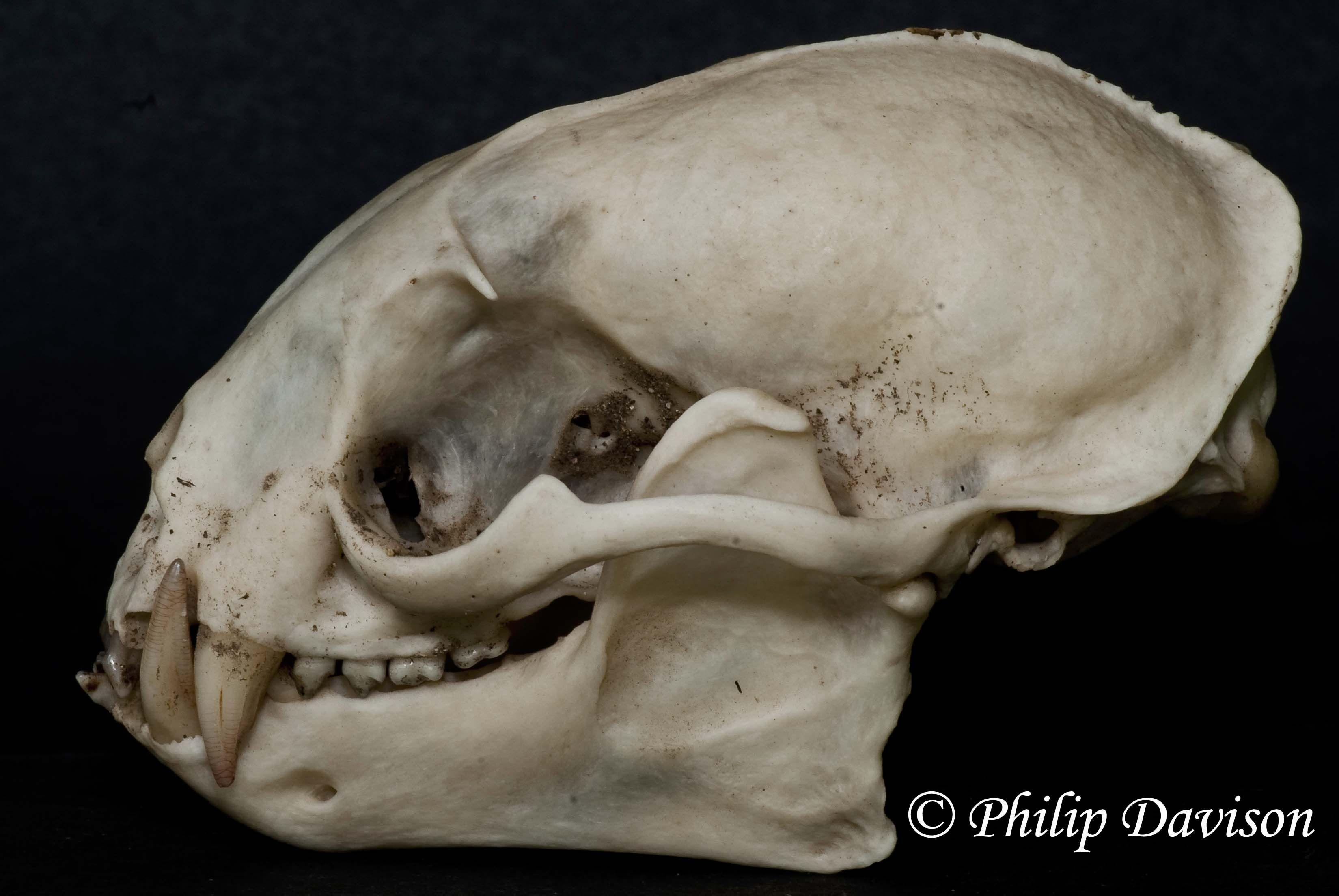 Image result for sagittal ridge Creature design
