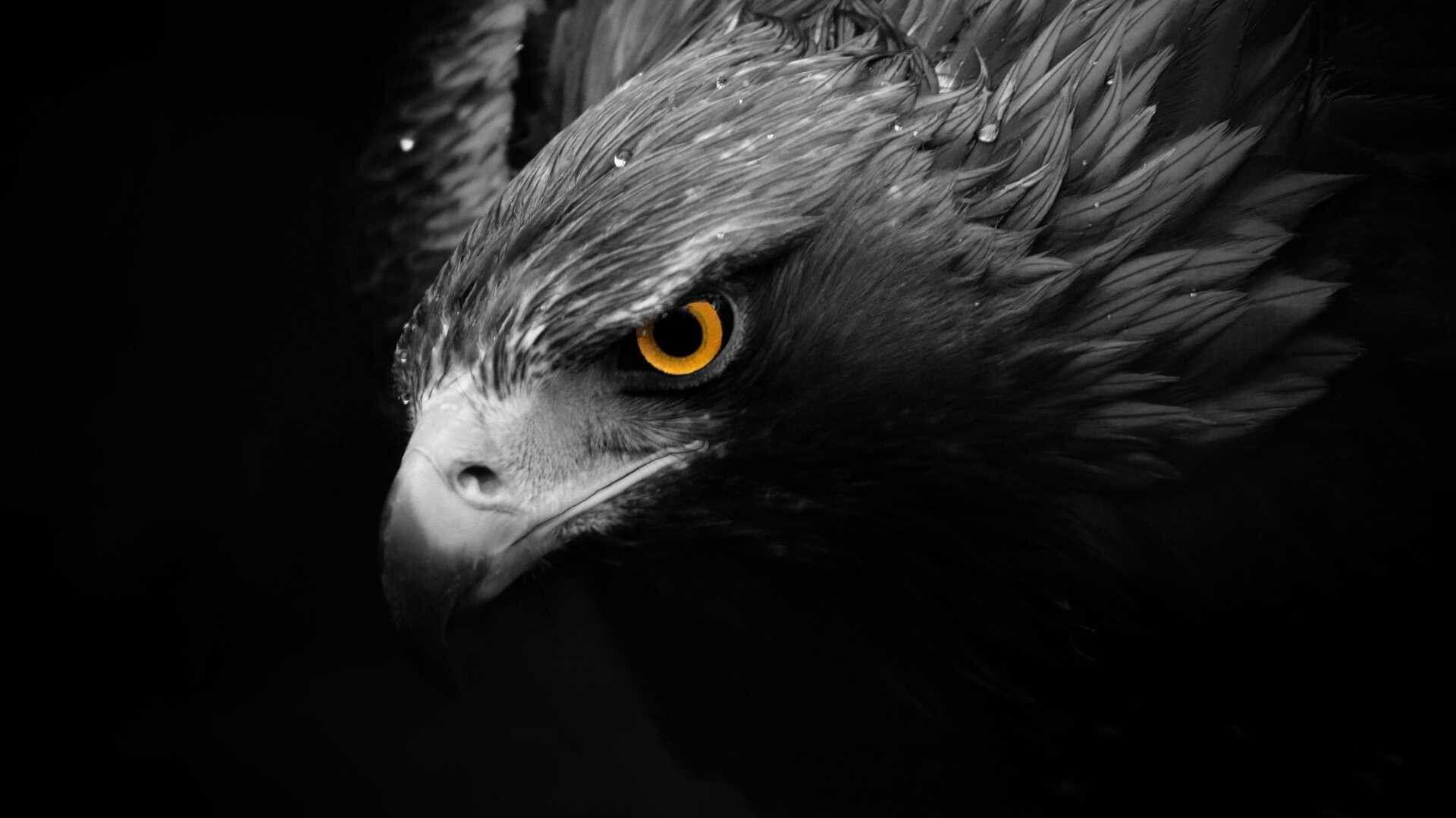 Black Eagle Eagle Wallpaper Birds Wallpaper Hd Animals Eagle black and white hd wallpaper