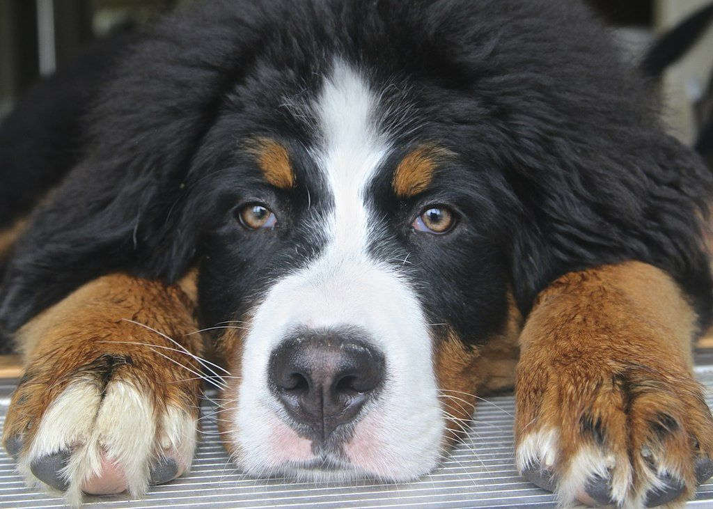 Emma Ready For Her Close Up Bernese Mountain Dog Mountain Dogs Dog Friends