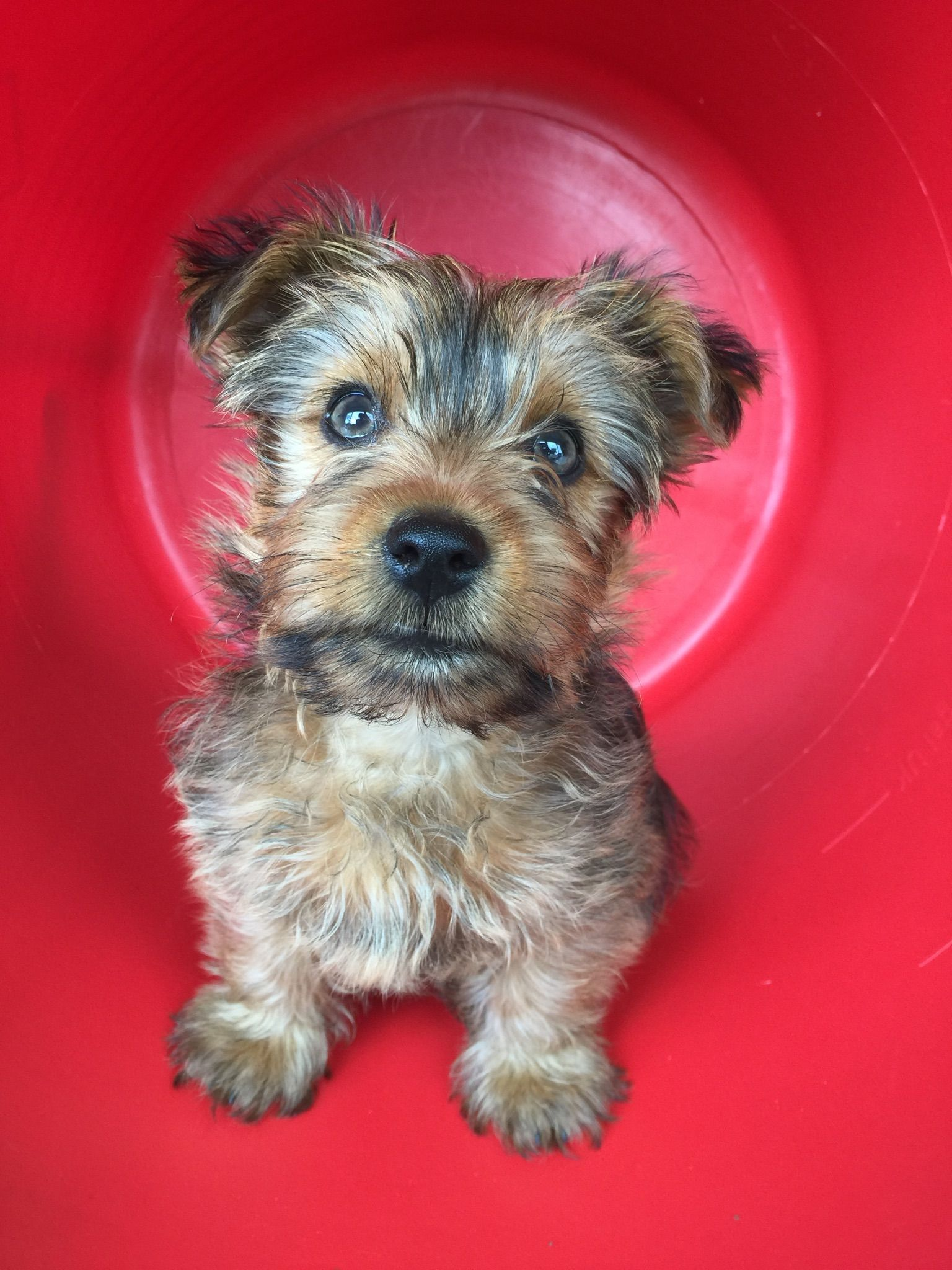 Our Puppy Yorkshire Terrier 3 Months Old Then Pet Photography