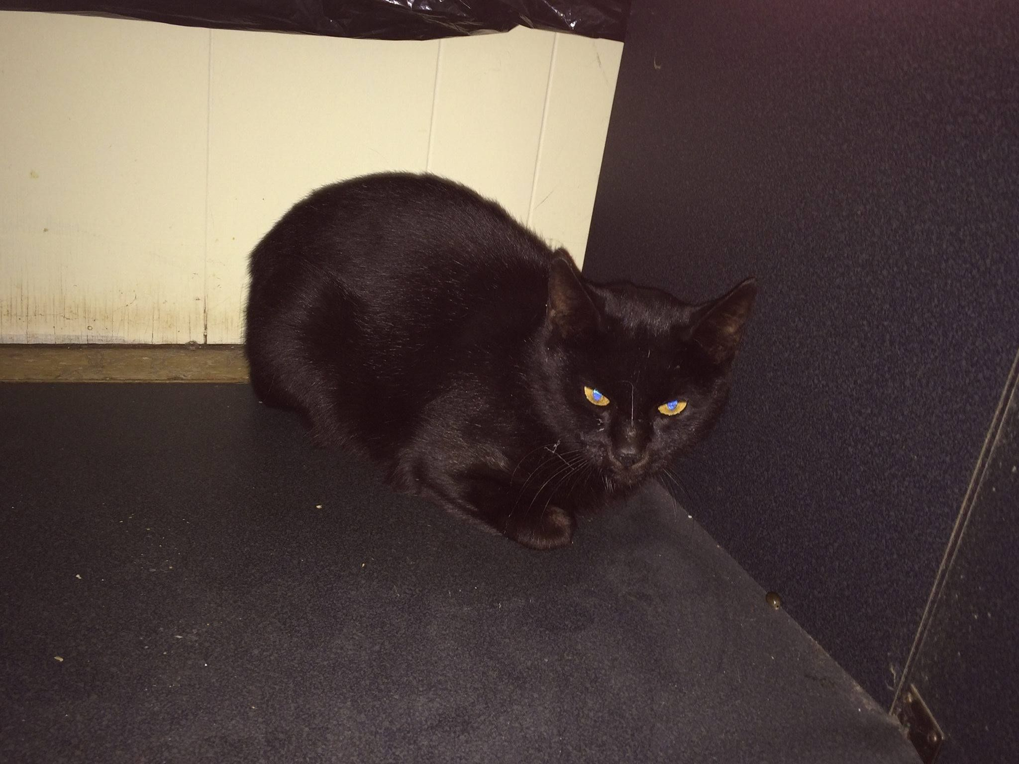 Https Www Facebook Com Ct Lost Pets Posts 777012162420661 Patricia Bruhn Ct Lost Pets October 27 Last Week Found Losing A Pet All Black Cat Found Cat