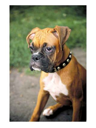 Boxer Puppy Boxer Dogs Boxer Puppies Best Dog Photos