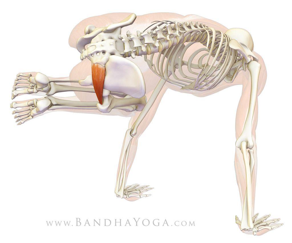 Piriformis -Parsva bakasana adducts and flexes the hip joint, thus ...