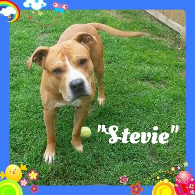Adopt Stevie On Pitbull Terrier Terrier Mix Dogs Bull Terrier Mix