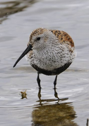 Dunlin (in virginia and in magee marsh)