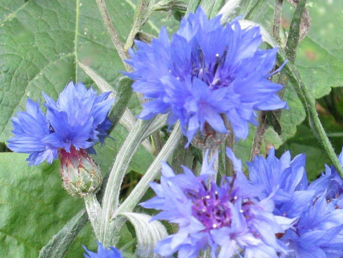 Flower bachelor button blue boy growing seeds