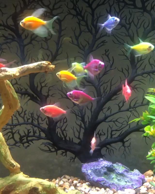 How Many Glofish In A 10 Gallon Tank Stocking Guide Video Video Fish Wallpaper Glofish Glow Fish