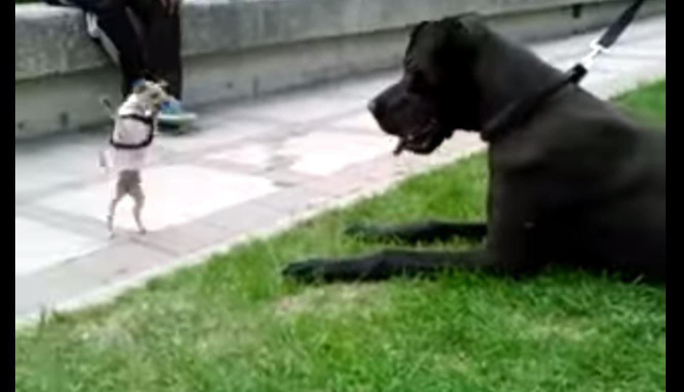 Chihuahua Vs Great Dane Dogs Goofy Dog Funny Dog Videos