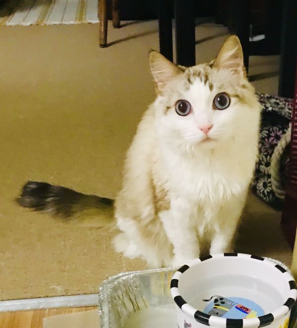 Princess, adoptable Cat, Adult Female Siamese & Ragdoll