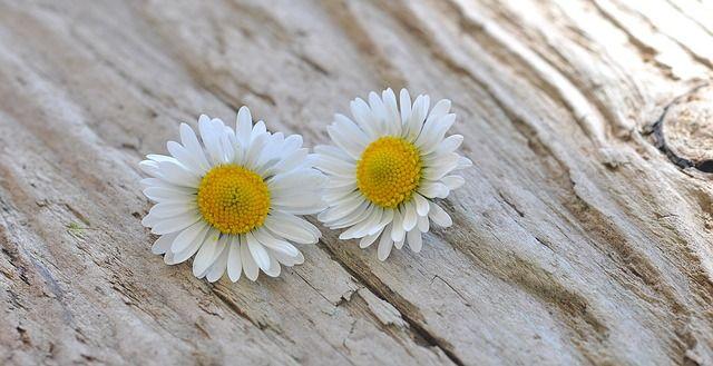 Image Gratuite Sur Pixabay Fleurs Marguerite Blanc Bois Idees