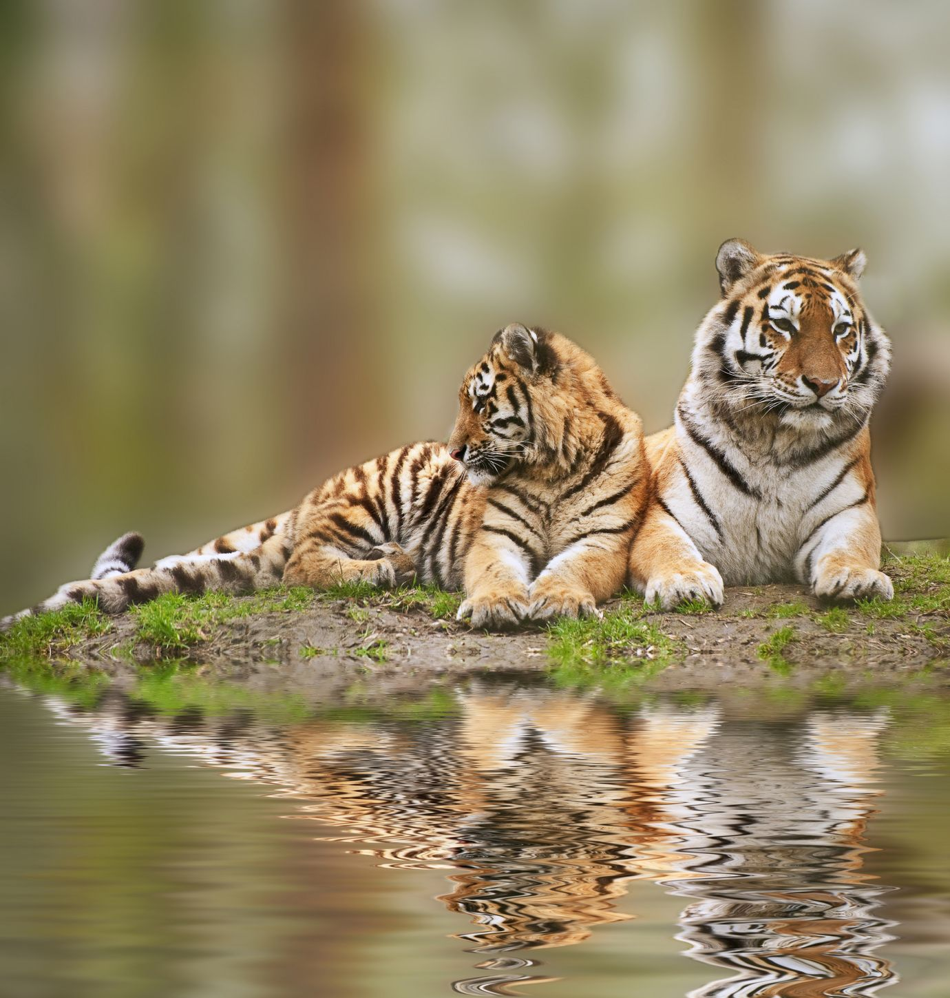 Tigres Pareja De Tigres Espejo Tigres Animals Big Cats Exotic Birds