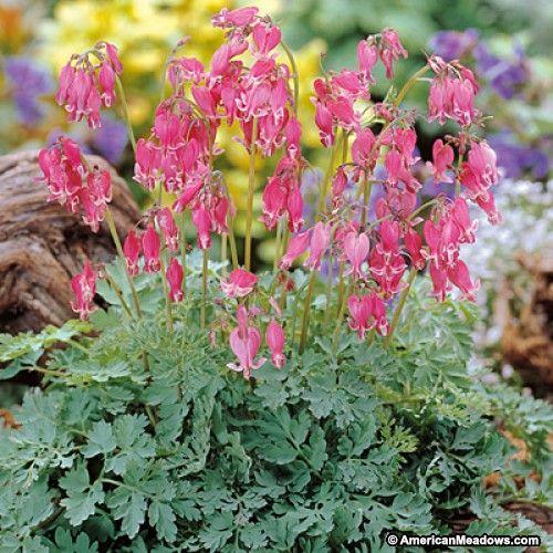 King Of Hearts Bleeding Heart Bleeding Heart Deer Resistant Perennials Shade Loving Perennials