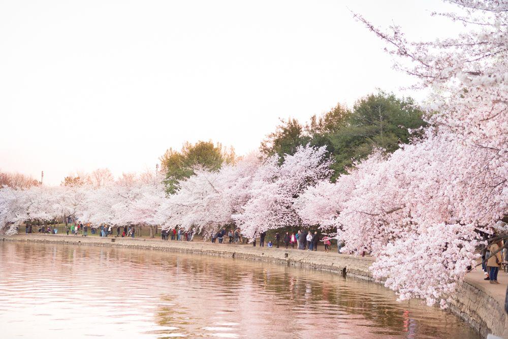 The 2021 Guide To Washington Dc Cherry Blossom Peak Bloom Cherry Blossom Washington Dc Cherry Blossom Dc Washington Dc Travel