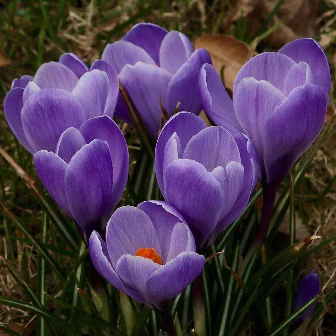 Crocuses Pushing Their Way Up Through The Leaf Litter And Shining In