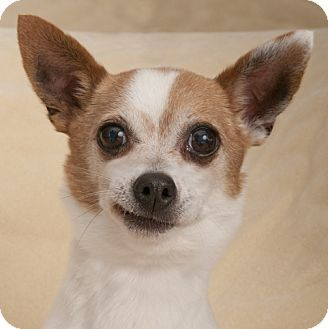 Chicago Il Chihuahua Meet Buddy A Dog For Adoption Http