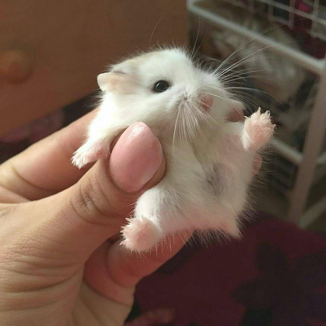 What Food Do Robo Hamsters Eat
