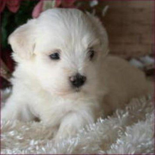 Bichon Cross Maltese Puppies Sale Zoe Fans Blog Perros
