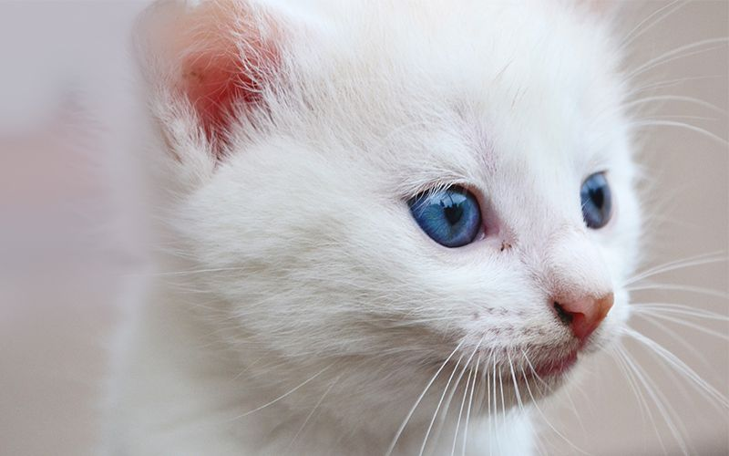 Names For White Cats Our Top 100 White Cat Names Cute Cat Names Cat With Blue Eyes White Cats