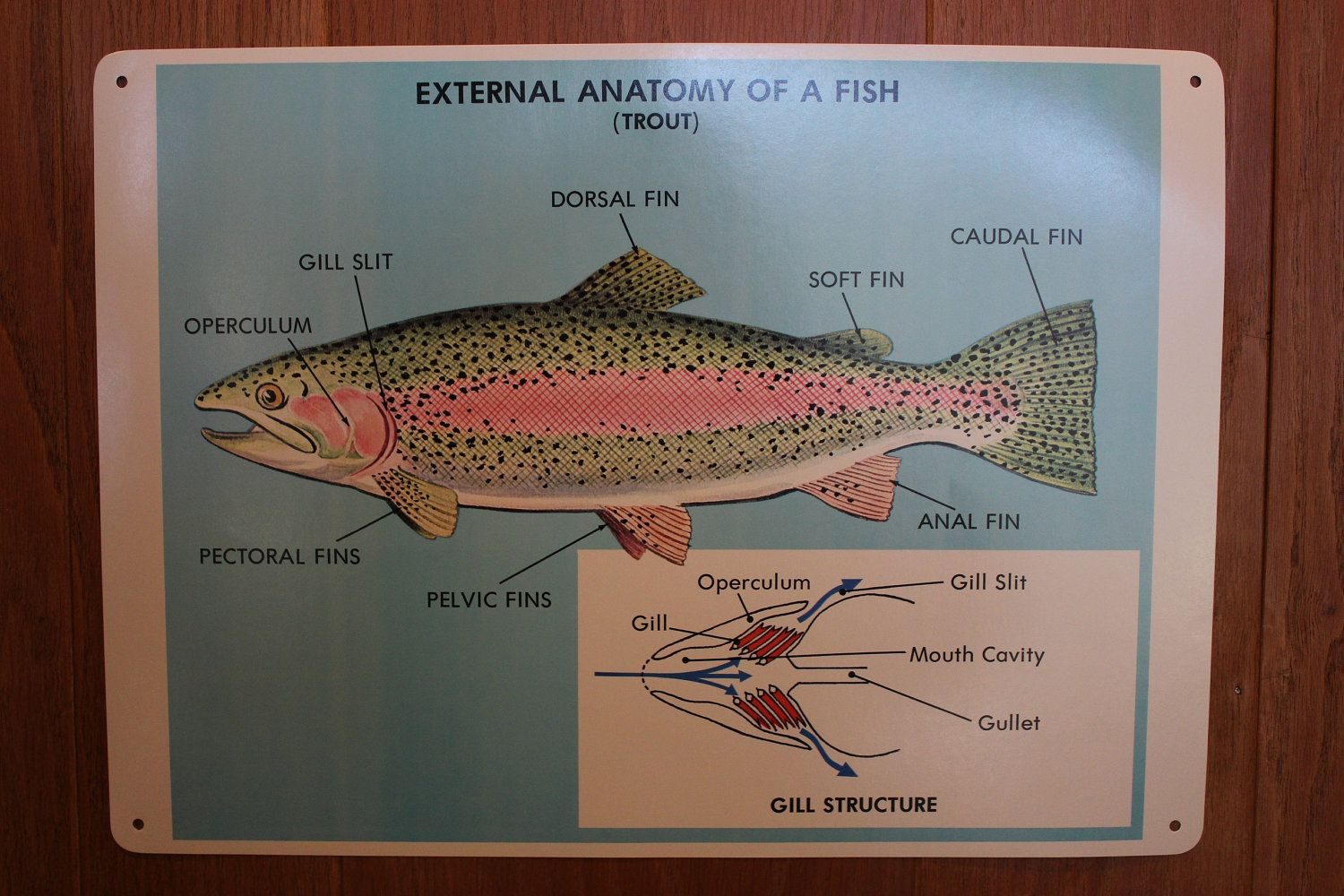 Trout Fish Anatomy Vintage School Science Chart/ Poster, 1970 http ...