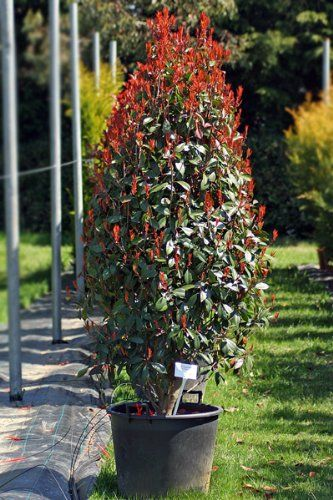 Photinia x fraseri 'Red Robin' / Christmas Berry Clipped Cone : 70L Pot : 175-200cm High (exc pot): Amazon.co.uk: Garden & Outdoors