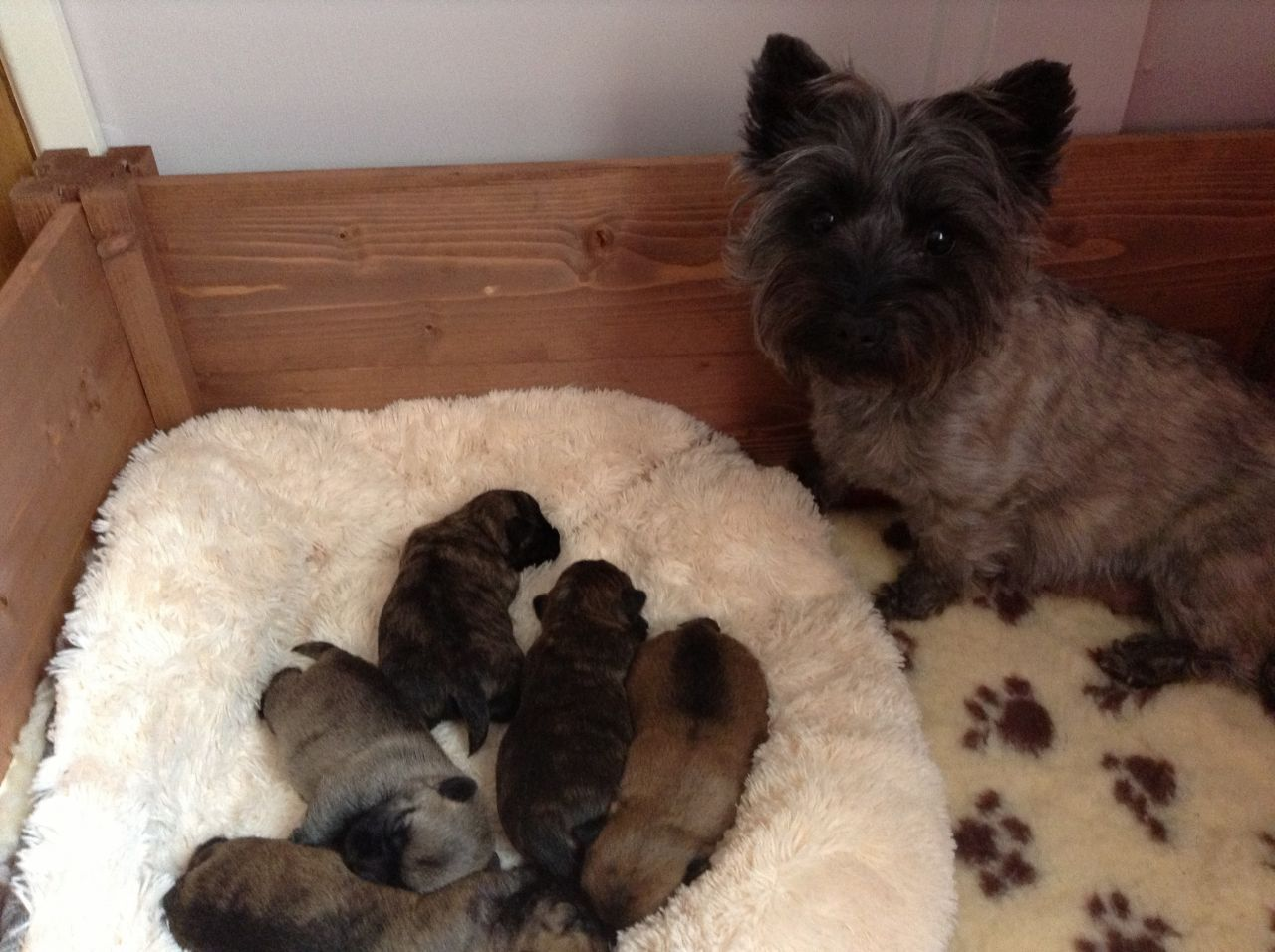 Cairn Terrier Pet Dogs | For Sale Dog And Bitch Pedigree Cairn