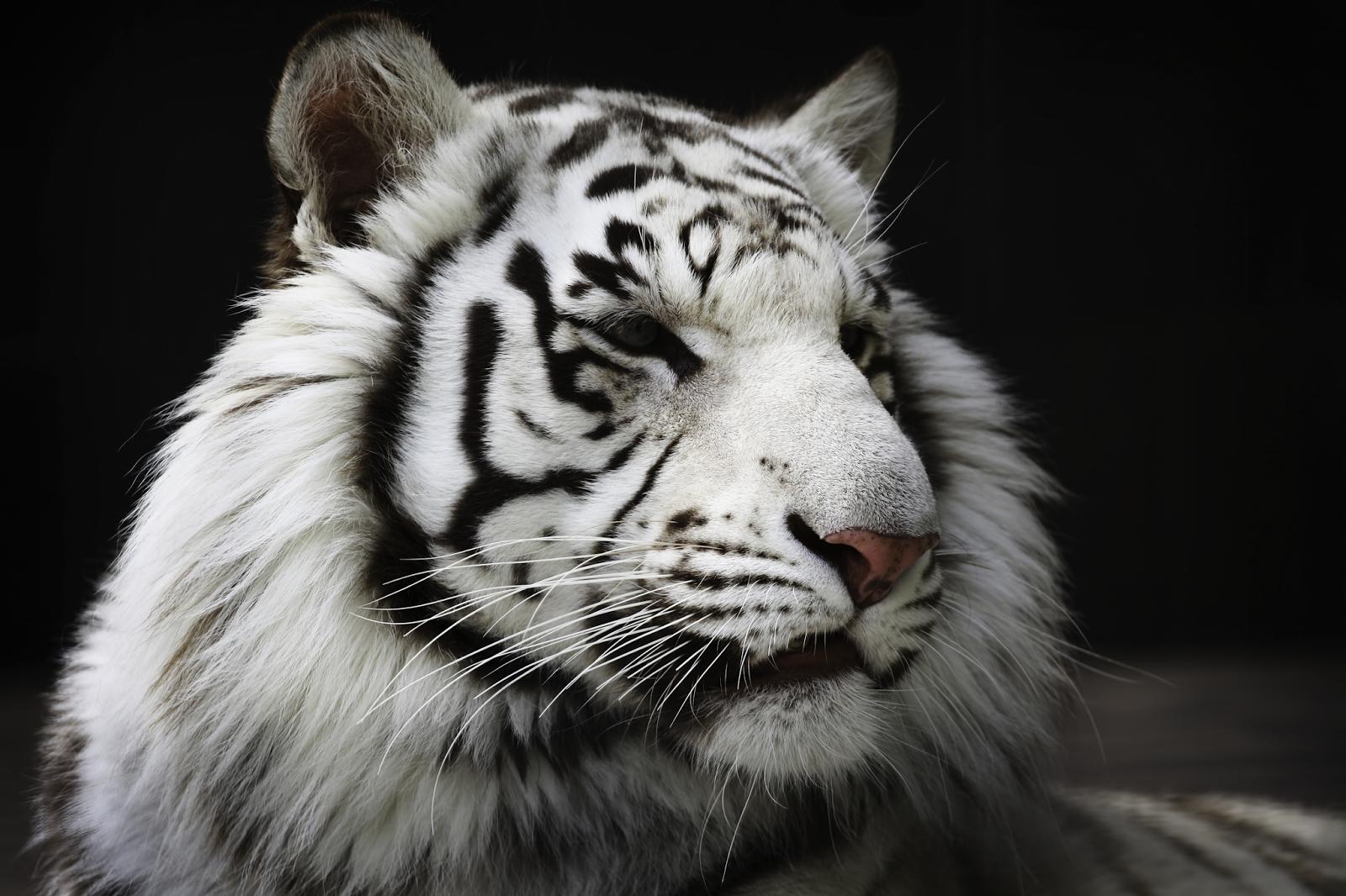 WhiteTiger0080.png 3840x2560x24(RGB) #white #tiger  #animal #endangered #predator #majestic