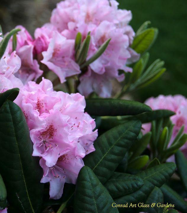 Rhododendron 'Helsinki University'Koko:  1,5–2 m. Kuvaus:  Tuuheakasvuinen alppiruusu, jolla on vaaleanpunaiset kukat. Kasvupaikka:  Puolivarjo–varjo, vähä- tai keskiravinteinen, hapan, kostea, kukkii runsaammin puolivarjoisalla paikalla kuin varjossa. Menestyminen:  I-V