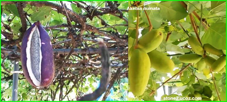 فاكهة اكيبيا كويناتا Akebia Quinata قسم الفواكه النبات معلومات نباتية وسمكية معلوماتية Eggplant Vegetables
