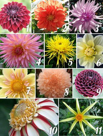Types Of Dahlias 1 Formal Decorative Dahlias 2 Informal Decorative Dahlias Id 3 Semi Cactus Dahlias Sc 4 Dahlia Flower Flowers Types Of Flowers