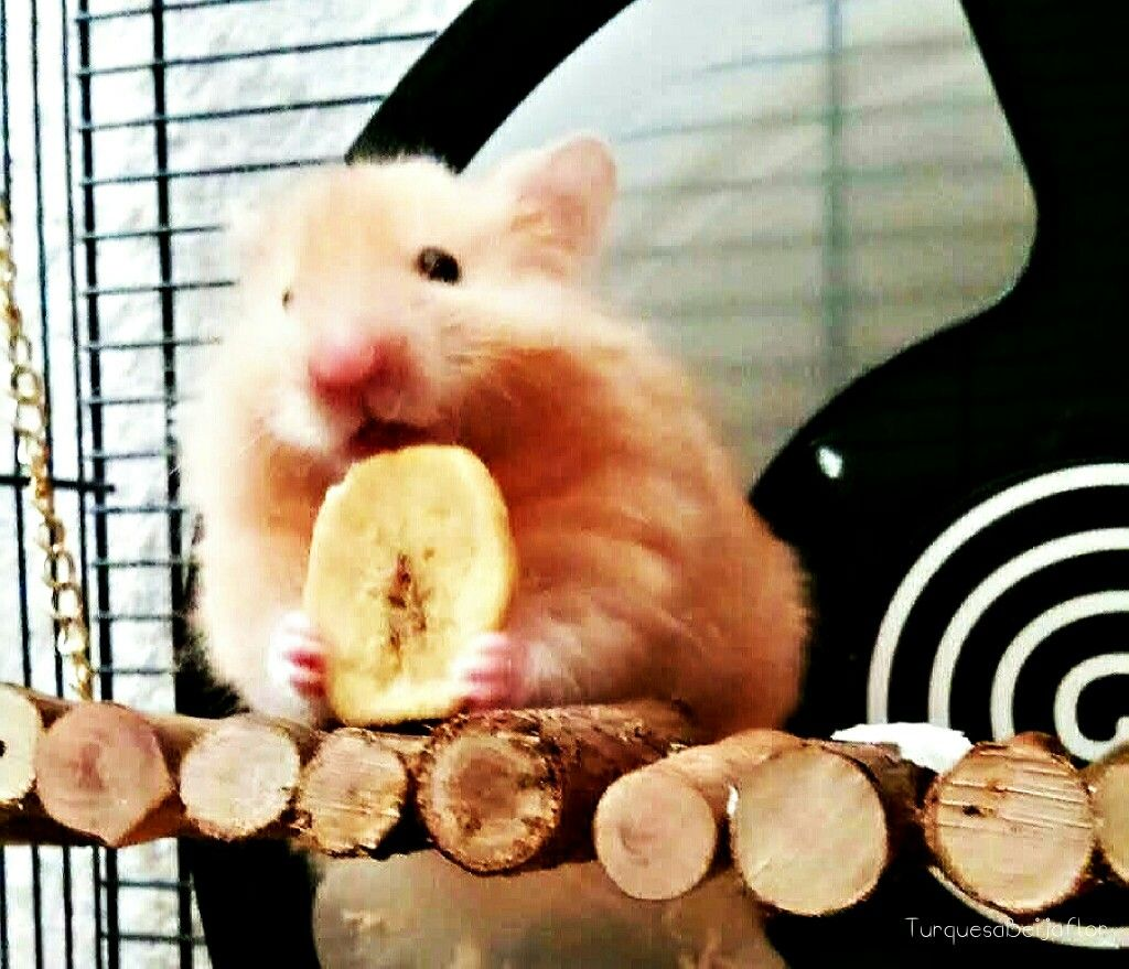 My Little Hamster Elvis Eating Banana Chip Cute Hamster Cute Hamsters Eating Bananas