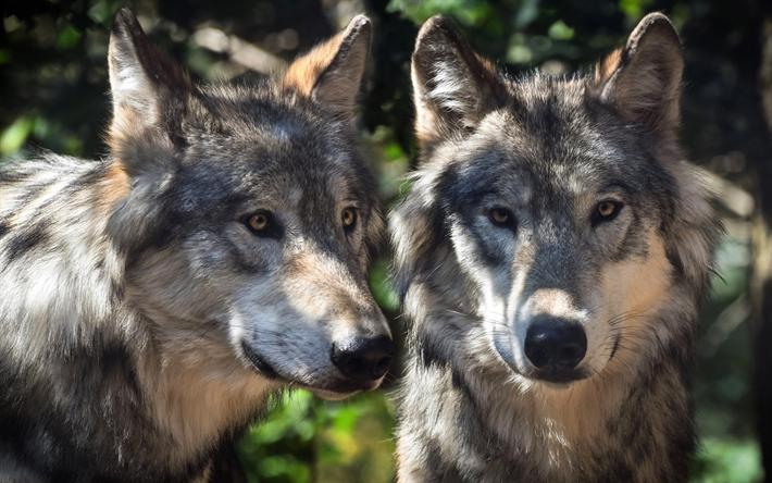Download Wallpapers Wolves Predators Wildlife Forest Animals Besthqwallpapers Com Lobo Gris Imagenes De Animales Animales Del Bosque