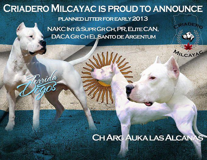 Dogo Argentino Vs American Pitbull Terrier Breed Comparison Pitbulls Pitbull Terrier American Pitbull Terrier