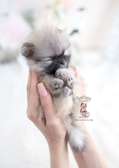 tiny-teacup-pomeranian-puppy-for-sale-teacup-puppies-070-a #cuteteacuppuppies tiny-teacup-pomeranian-puppy-for-sale-teacup-puppies-070-a #cuteteacuppuppies