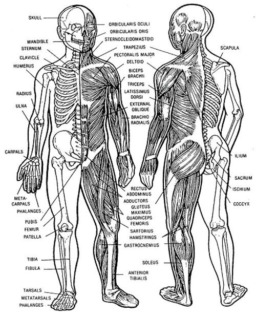 human musculoskeletal system diagram