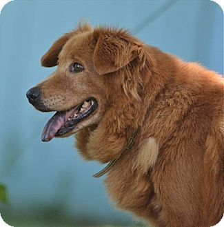 Allentown Pa Golden Retriever Chow Chow Mix Meet Amber A Dog